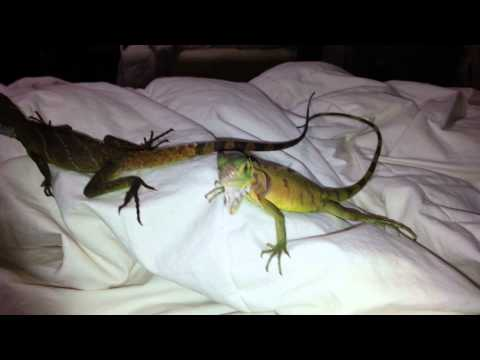 Water dragon vs iguana