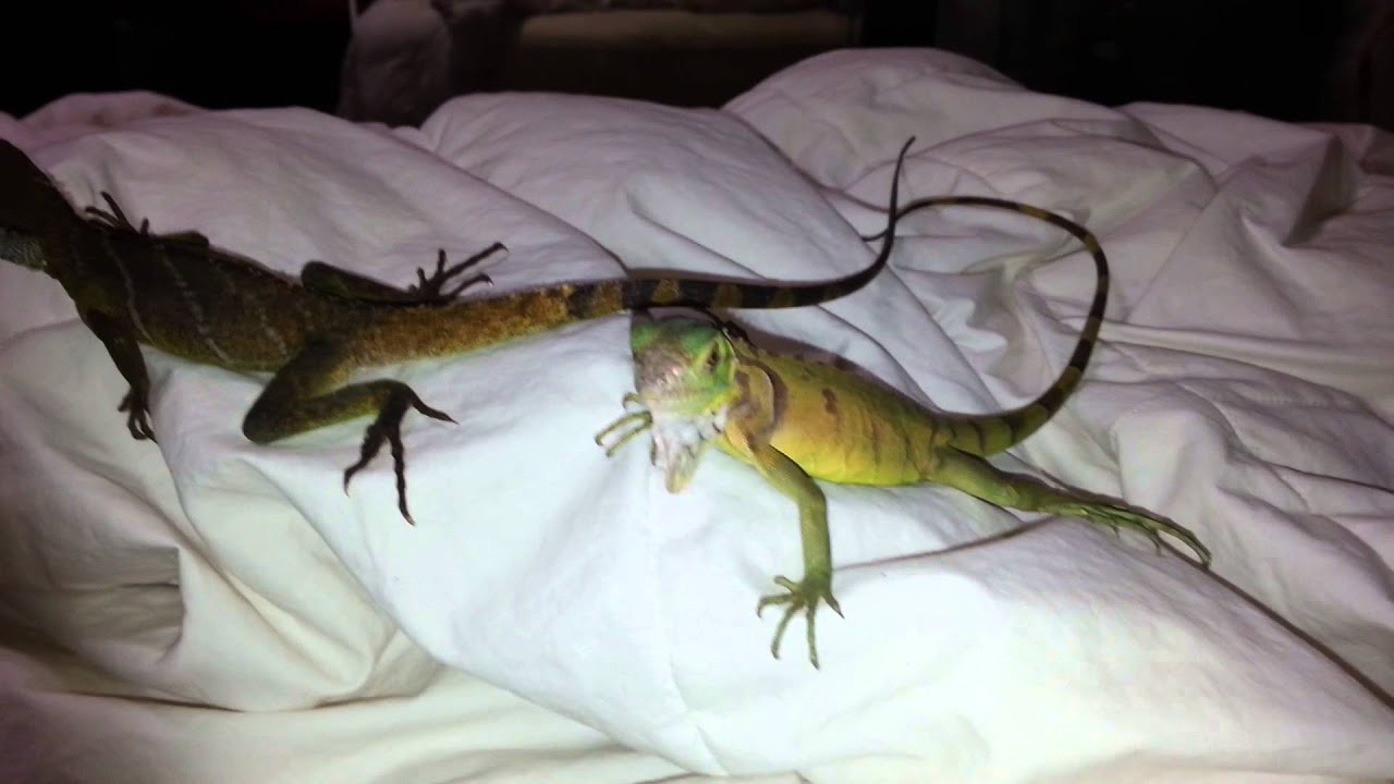Full Grown Male Chinese Water Dragon