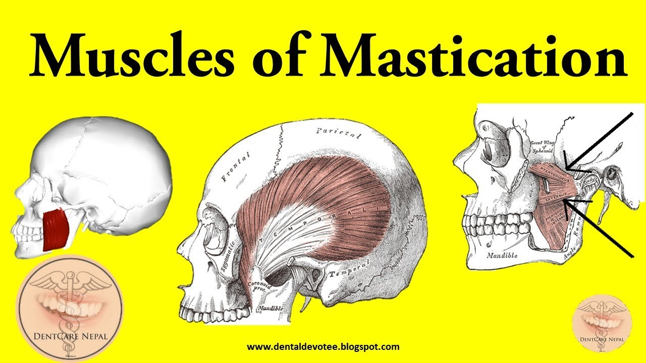 Muscles Of Mastication Made Easy
