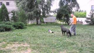 Обучение командам Фас и Чужой, работа собаки по команде.