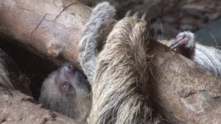 Cute! First baby sloth born at ZSL London Zoo