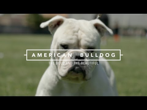 AMERICAN BULLDOGS THE BOLD AND THE BEAUTIFUL