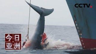 [今日亚洲]日本重启商业捕鲸 首头被捕鲸画面曝光| CCTV中文国际