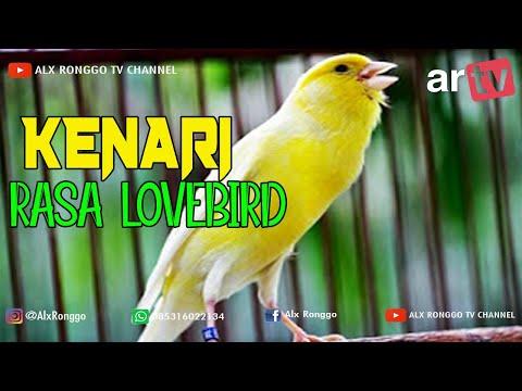 HOBI BURUNG : Si Jenggo kenari rasa Lovebird milik Keyna SF