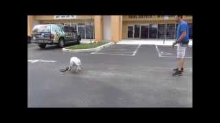 Dog Training In South Florida | Apollo's Progress Bull Terrier