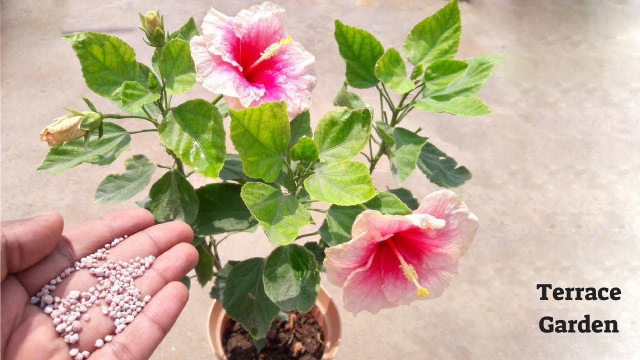Top 5 Secrets To Get More Flowering In Hibiscus Bloom Booster