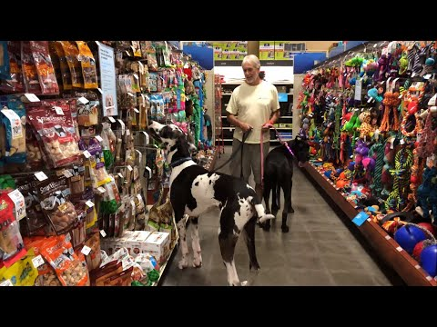 Great Danes have fun in snack aisle of pet store