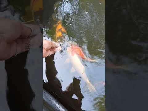 ASMR Hand Feeding Koi Fish