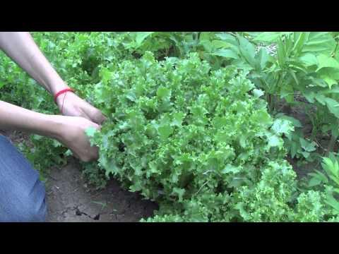 Салат фризе - выращивание