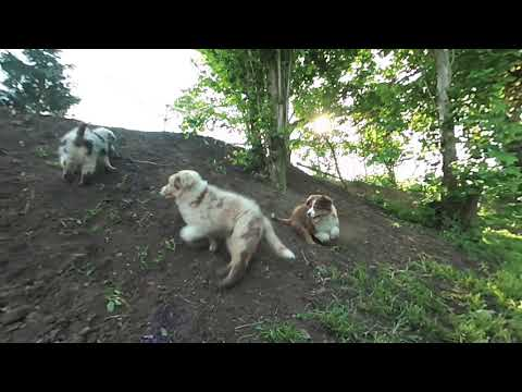 VR180 Video - Miley the Australian Shepherd playing with her friends