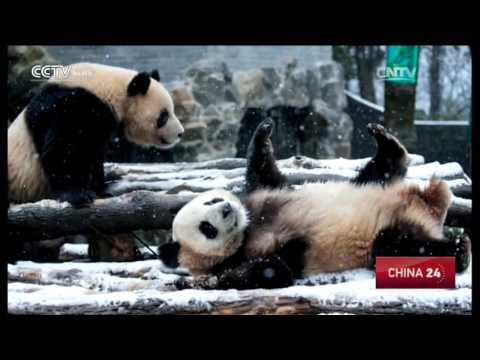 Pandas enjoy first snow in Hangzhou