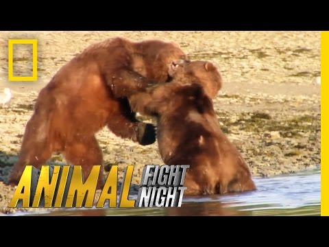 Bears Brawl Over Blubber Banquet | Animal Fight Night