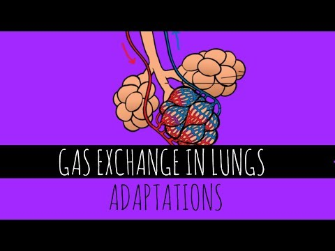 Gas Exchange In Lungs - Adaptations - GCSE Biology