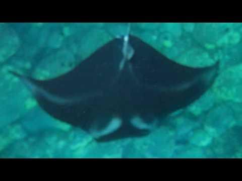 Swimming with manta rays at night in Hawaii