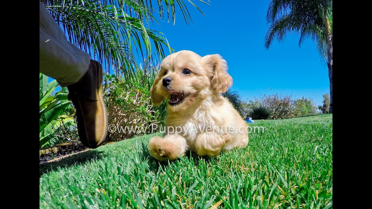 apple the super cute cavapoo hybrid female puppy for sale near