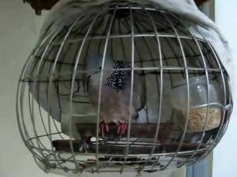 Trại chim Phương chuyên phân phối mua bán chim Cu gáy các loại