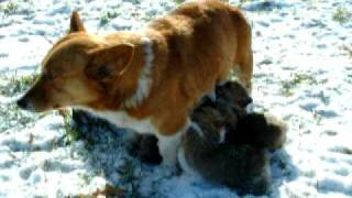 More Of Sadie And Litter Of 8 Pembroke Welsh Corgi Puppies