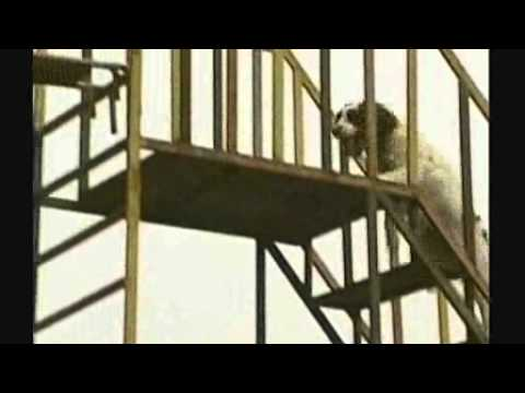 BBC NEWS   World   Asia Pacific   Rescue dogs train for Olympics