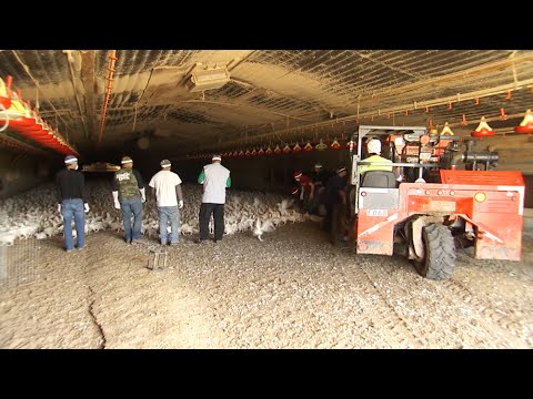 Transporting Chickens To Processing