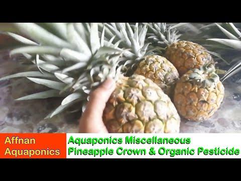 Affnan's Aquaponics - Pineapple Crown & Organic Pesticide