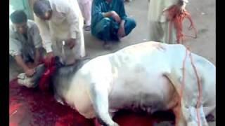 Bakra eid qurbani of KHALID KHAN jadoon.