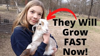 This Will Help the Baby Goats Grow REALLY FAST!
