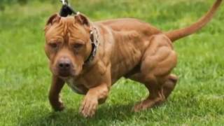 How it Looks Pitbull..! Photo of the dogs.