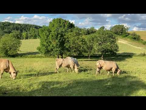 blonde-d'aquitaine-on-farmland-near-lautrec