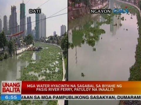 UB: Mga water hyacinth na sagabal sa biyahe ng Pasig River Ferry, patuloy na inaalis