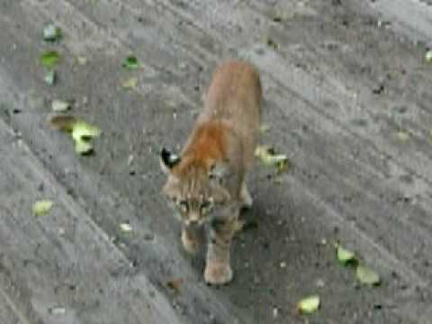 Bobcat in Washington