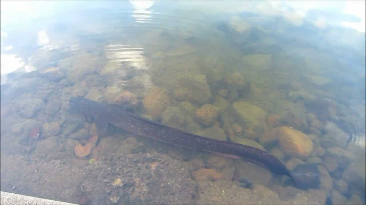 Giant Eel Spotted At Grand Bassin Lake In Mauritius Youtube