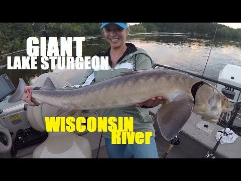 giant sturgeon in lake washington - 530×298