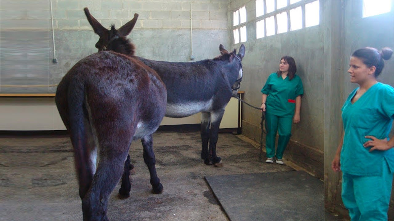 Download Donkeys Are Ready For Treatment