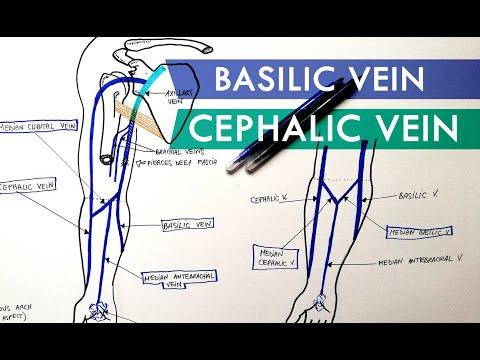 Superficial Veins of Upper Limb - Basilic & Cephalic veins | Anatomy Tutorial