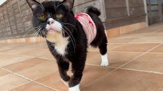【猫】セクシーな歩き方になってしまったもんた
