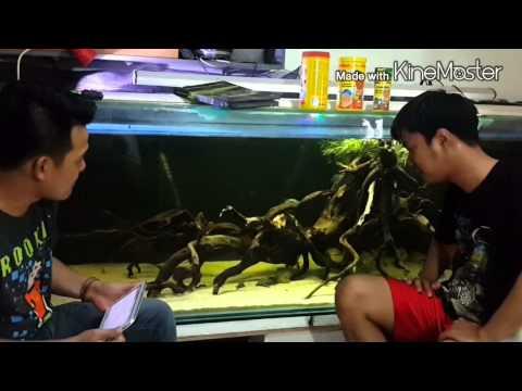 BERBINCANG AMIS - Cichlid Aquarium (Adam)