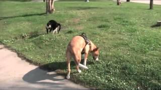Пират и чужая кошка обходим дерево (слепая собака)