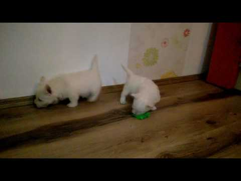 H litter, West Highland White Terrier, 7 weeks old puppies