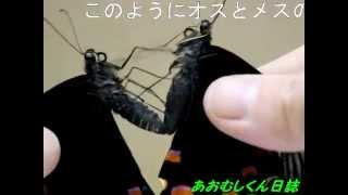 蝶のハンドペアリング Part1