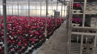 Голландские розы технология выращивания догадалась, что
