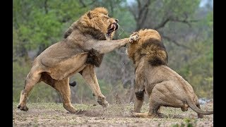Animals Fights - Best Lions fights - Animal Attack