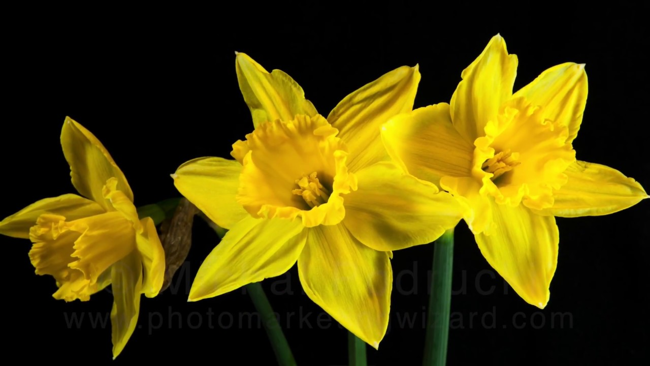 Fresh spring flowers blooming in time lapse yellow daffodils stock fresh spring flowers blooming in time lapse yellow daffodils stock footage mightylinksfo