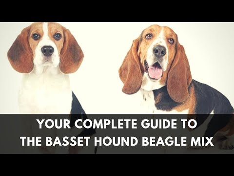 All About The Basset Hound Beagle Mix: Facts/ Information