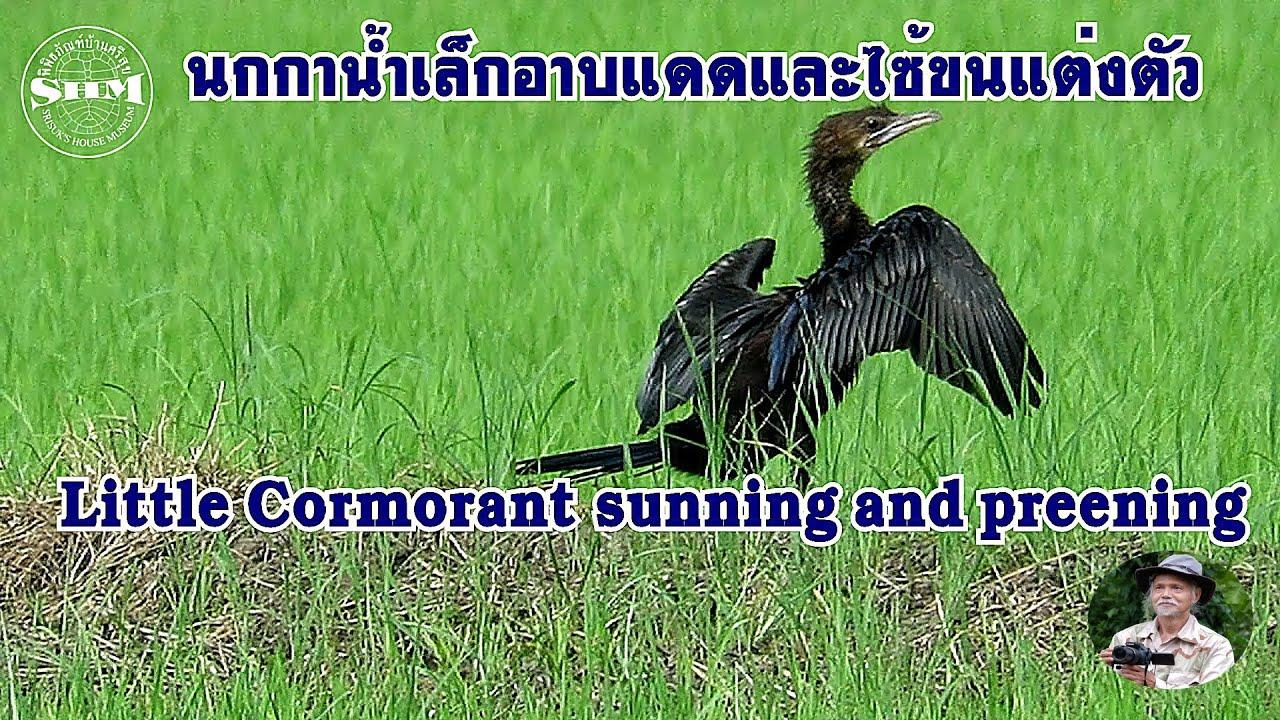 นกกาน้ำเล็กอาบแดดและไซ้ขนแต่งตัว Little Cormorant  sunning and preening