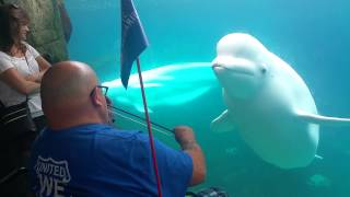 Beluga mesmerized  by violin