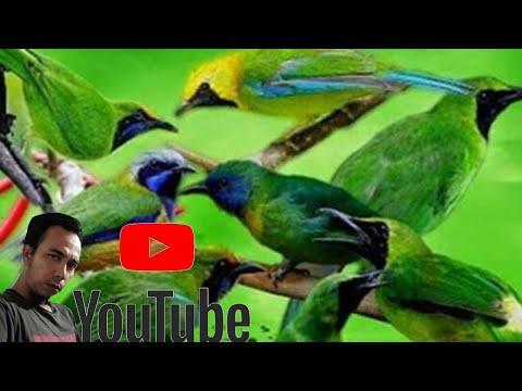 Kompilasi Kutilang Ribut Vs Burcil, Ampuh untuk Pikat Burung!!! JOSSSSSS!!!! - YouTube.MKV