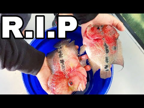 RESCUING DYING Flowerhorn FISH From BAD FISHKEEPER!
