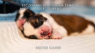 """Szczeniaki shih tzu z miotu """"O/2019"""" na żywo! - Shih tzu puppies live! - Beatus Canes - Na żywo"""