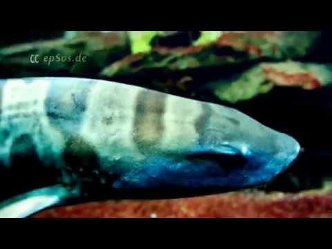 Nice Leopard Shark in Reef Aquarium