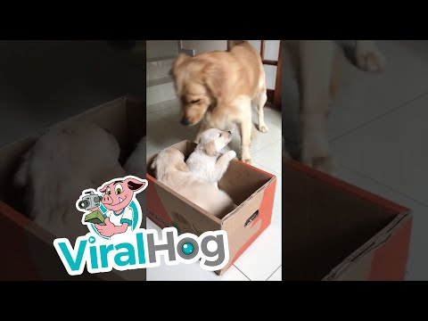 The Kane Show - Golden Retriever Has the PERFECT Reaction to Meeting His New Siblings!